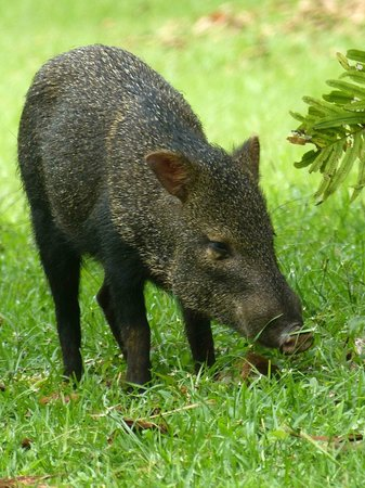 Bosque del Cabo Rainforest Lodge: Collared peccary in tropical garden area