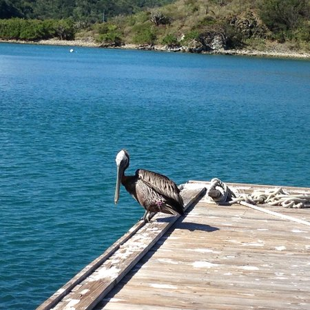 Peter Island Resort and Spa: Pelican in the harbour