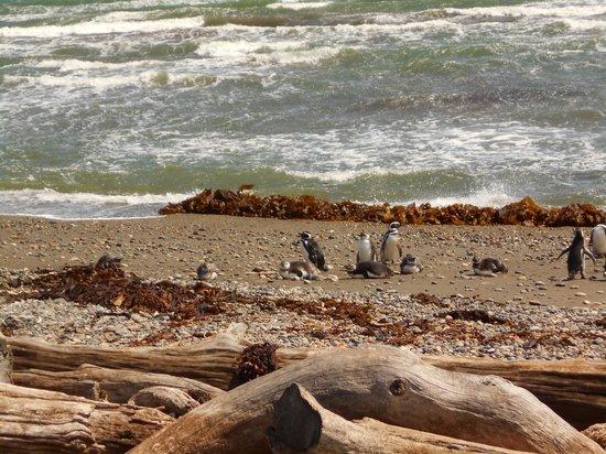 Otway Sound & Penguin Reserve: pinguini