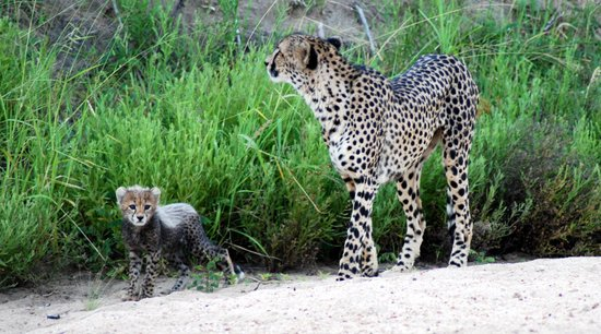 Moditlo River Lodge: Cheetah Cub With Mother