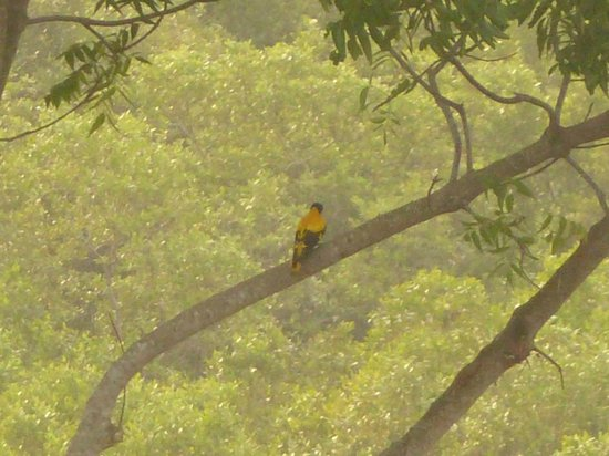 Buckingham Place: A balck-hooded oriole right in front of our balcony