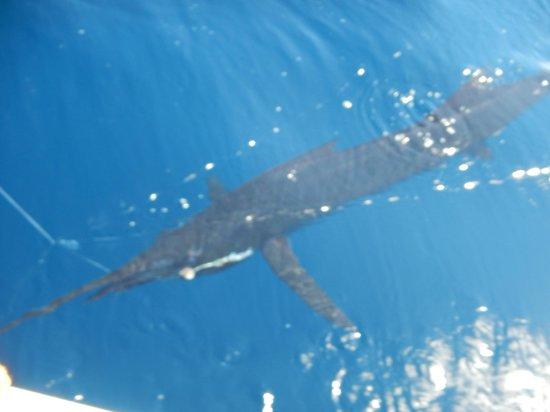 Drake Bay, Costa Rica: Sailfish