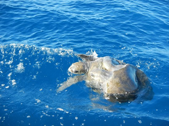 Drake Bay, Costa Rica: Sea Turtles mating seen on the way to a fishing spot.