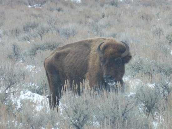 Wildlife Expeditions of Teton Science Schools: bison - lonely old lady