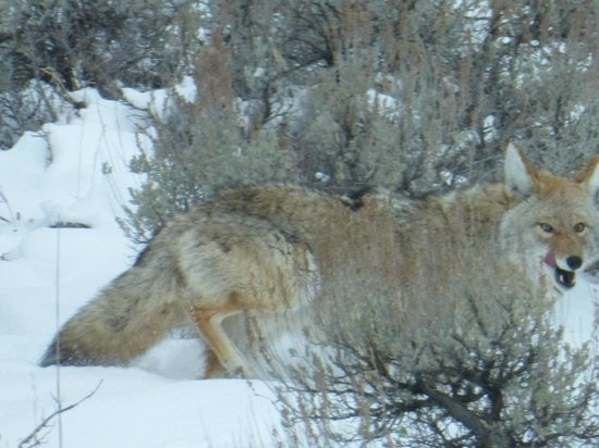 Wildlife Expeditions of Teton Science Schools : coyote - in brush finding a meal