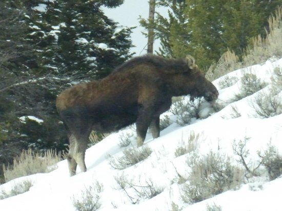 Wildlife Expeditions of Teton Science Schools : moose grazing