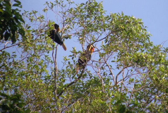 Sukau Rainforest Lodge: Hornbills on the Kinabatangan River that the lodge is on.