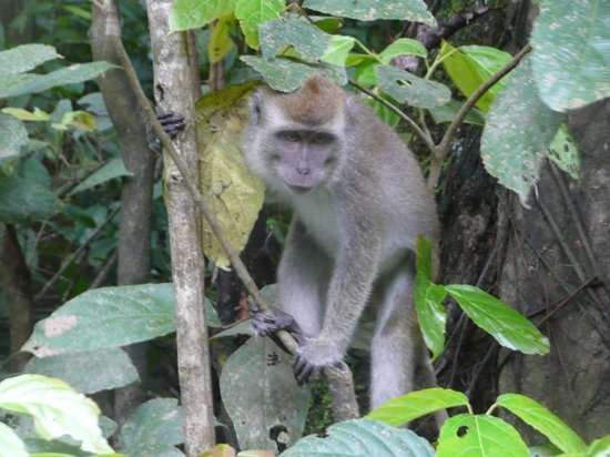 Sukau Rainforest Lodge: Long tailed macaque on the river