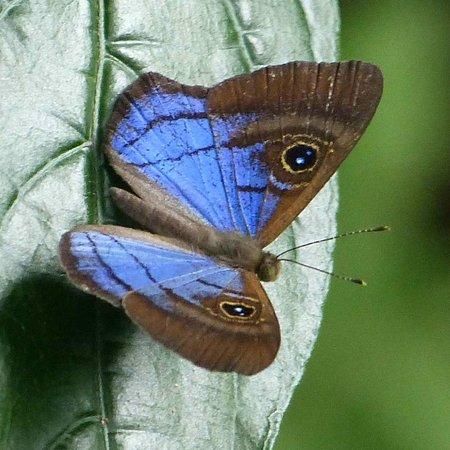 Hotel Bougainvillea: Mesosemia butterfly