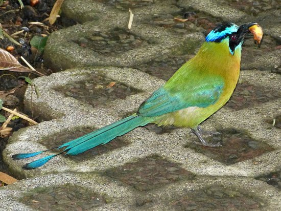 Hotel Bougainvillea: Blue-crowned motmot (often sen)