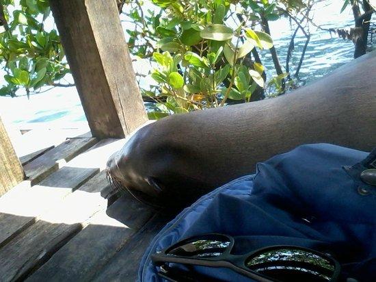 Concha de Perla: lobo marino