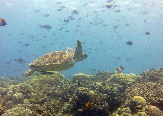 Thalassa PADI Dive Resort : schildpad