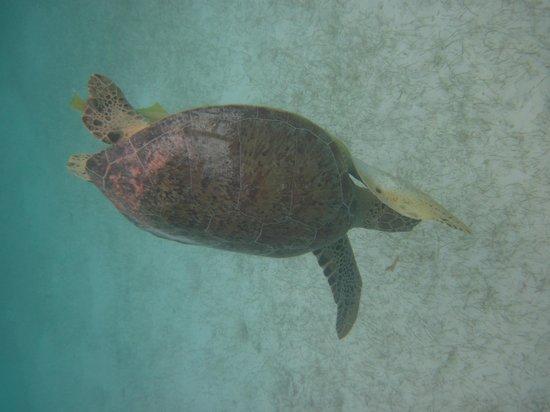 Akumal Beach: Tortuga