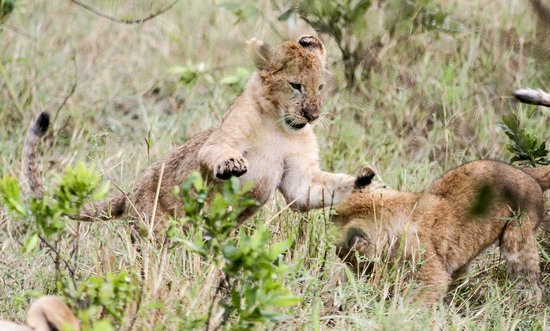Mara Sopa Lodge: Lion cubs playing on a game drive