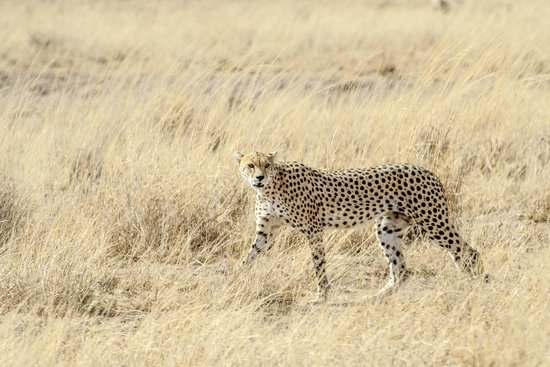 Amboseli Sopa Lodge: Cheetah not far into the park from hotel