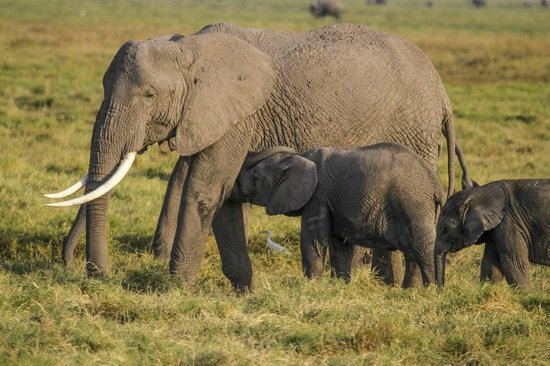Amboseli Sopa Lodge: Plenty of elephants