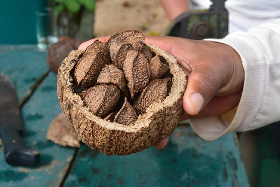 Sandoval Lake Lodge : Learning about Brazil nuts