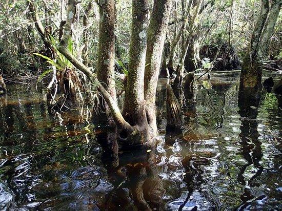 Fakahatchee Strand Preserve State Park & Boardwalk: Swamp Walk view