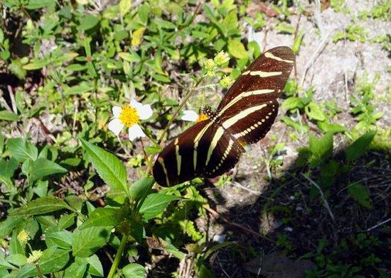 Fakahatchee Strand Preserve State Park & Boardwalk: Zebra Longwing butterfly