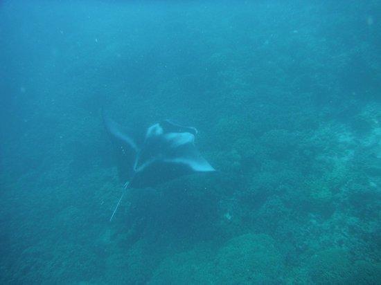 Manta sighting w/Diveasy