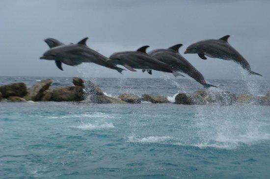 Dolphin Academy Curacao: Show dos Golfinhos