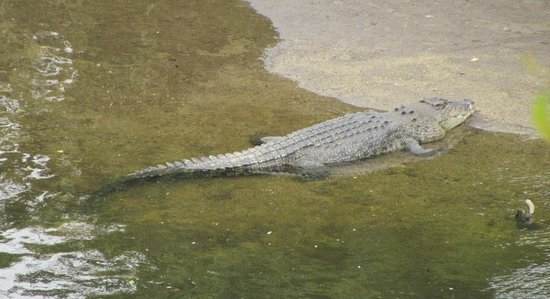 D'Arcy of Daintree 4WD Tours: Big Crocodile