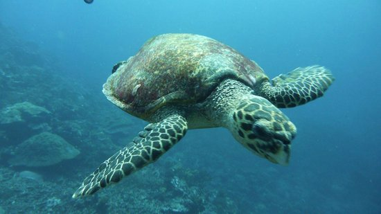 Leleuvia Island Resort: Friendly turtle