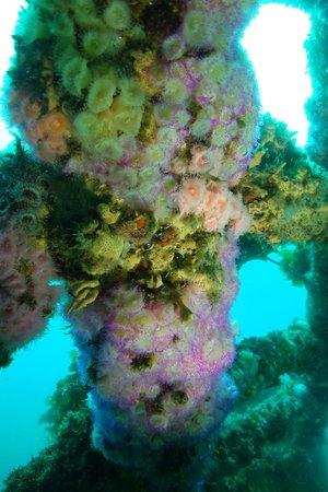 Paihia Dive: Jewel Anemones on Rainbow Warrior wreck.