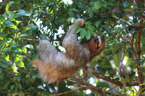El Remanso Lodge: Sloth above La Guinda Cabin