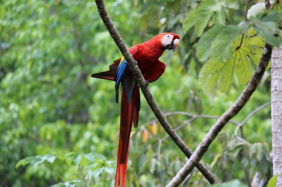 El Remanso Lodge: Scarlet Macaw perched right outside of the lodge