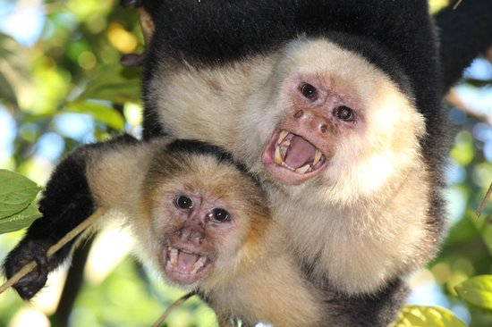El Remanso Lodge: White Face Capuchin