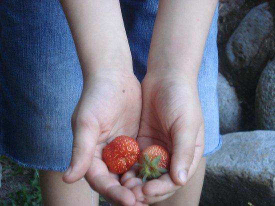 Cabanas Huitan Co : las frutillas que sacamos del jardín