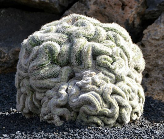 jardn de cactus mammillaria geminispina jardin de cactus lanzarote