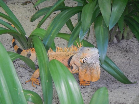 Hamanasi Adventure and Dive Resort: This beautiful iguana visited us during lunch at Hamanasi