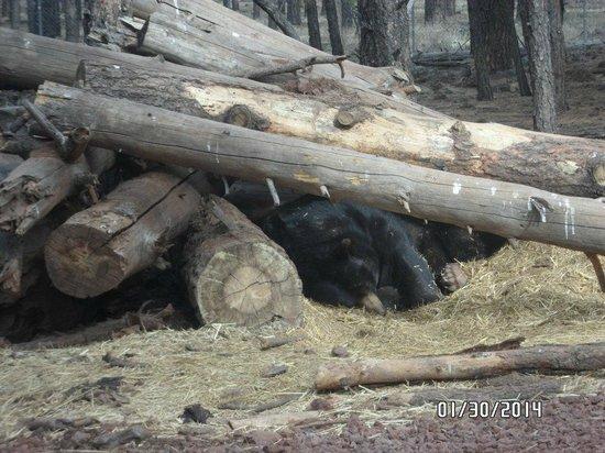 Bearizona Wildlife Park: Black Bear