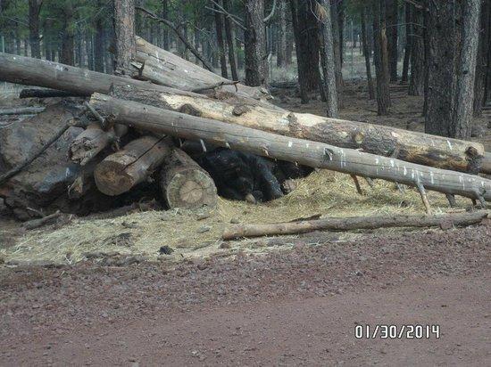 Bearizona Wildlife Park: Bear in wood cave