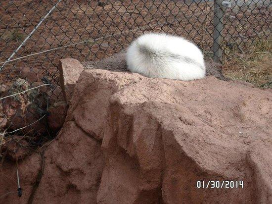 Bearizona Wildlife Park: Sleeping White Fox