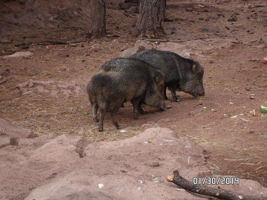Bearizona Wildlife Park: Javalina