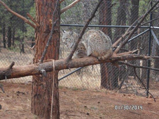 Bearizona Wildlife Park: Bobcat
