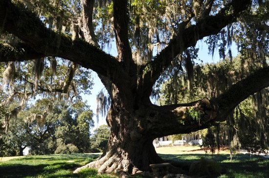 Rip Van Winkle Gardens: loved the gorgeous shade oaks