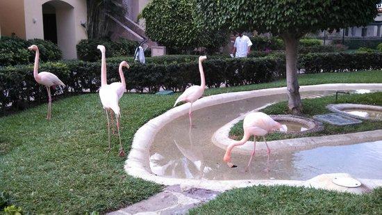 Pueblo Bonito Sunset Beach Golf & Spa Resort: flamingos on the grounds