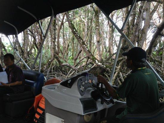 Proboscis Monkey River Cruise: in amongst the mangroves, proboscis monkey spotting