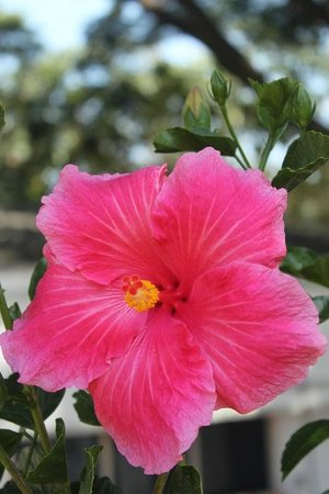 Terrace Gardens Guest House : Beautiful hibiscus at TG