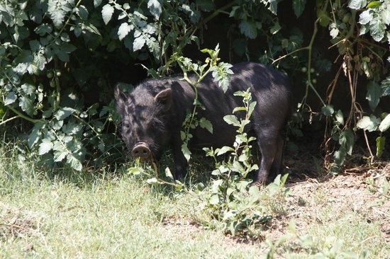 Thandile Country Lodge: Pet Pig