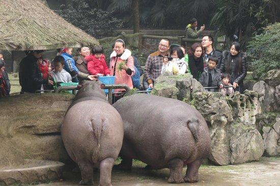 Chongqing Zoo (Chongqing Dongwuyuan): Feeding the hippos