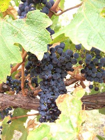 Wine Divas Tour: 近くで葡萄のふさが観れて直接 食べれた季節でした!