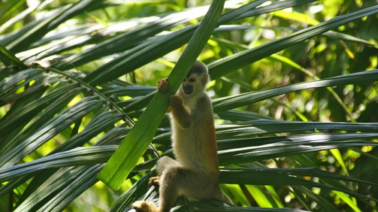 Tulemar Bungalows & Villas: Capucin monkey on the North Trail