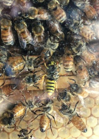 Porteath Bee Centre: Naughty wasp being evicted