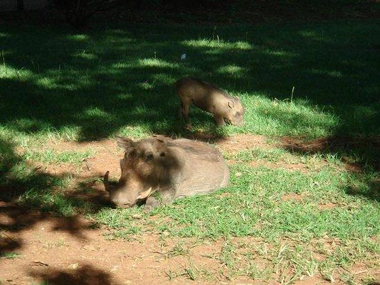 Bomas of Kenya : Phacochères