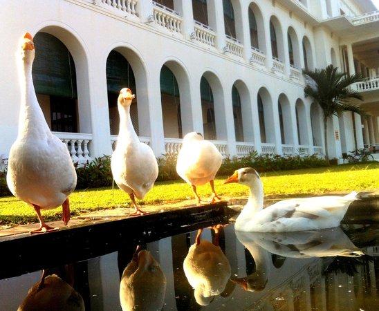 Royal Orchid Brindavan Gardens: Ducks - In the morning